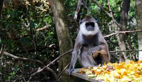Gray Langur Stock Photography