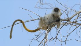Gray langur royalty free stock images