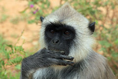Gray Langur Eating Stock Images