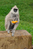 Gray Langur Royalty Free Stock Photography