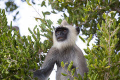 Gray Langur in een boom Royalty-vrije Stock Afbeelding