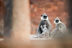 Gray langur family, Semnopithecus entellus, sitting on the stone. Ground against red bricks of Jetavanaramaya temple. Typical scene from world heritage city royalty free stock image