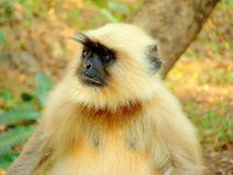 Gray langur. Gray Female Langur after her lunch looking to others for more food to snatch Royalty Free Stock Photo