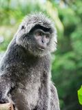 Gray Langur. With human face Stock Photography