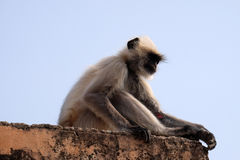 Gray Langur. On Wall at Amber Fort in Jaipur, Rajasthan, India Stock Image