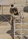 Gray langur or Hanuman langur monkey Royalty Free Stock Images