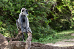 Gray langur or Hanuman langur. Monkeys living in Sri Lanka Royalty Free Stock Photo