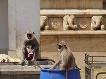 Gray langur or Hanuman langur monkeys Royalty Free Stock Image