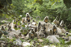 Gray Langur Royalty Free Stock Photo