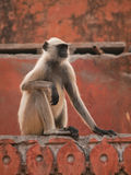 Gray langur in Jaigarh Fort Royalty Free Stock Images