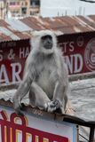 A Gray Langur lounges on the roof of a shop in Tapovan. stock photos