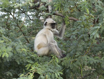Gray langur monkey Stock Image