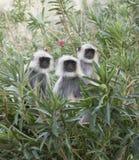 Gray langur monkey. Adult indian gray langur monkey Royalty Free Stock Images