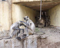 Gray langur monkey Stock Photo