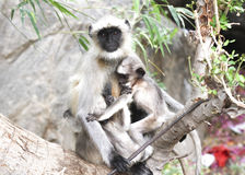 Gray langur monkey Royalty Free Stock Photo