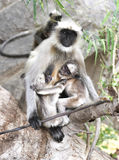 Gray langur monkey Royalty Free Stock Photos