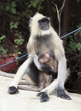 Gray langur monkey Royalty Free Stock Image