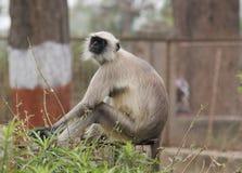 Gray Langur Monkey Stock Photo