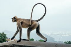 Gray Langur Monkey at Ranthambore Fort in Northern India.