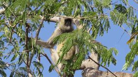 Gray Langur Monkey sitting on top of a tree. In Indian forest stock footage