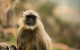 Gray langur monkey Stock Photography