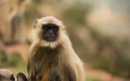 Gray langur monkey Stock Photography