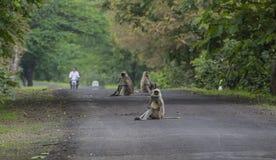 Gray Langur Monkeys Imagen de archivo