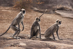 Gray Langur Monkeys of Sri Lanka. Three Gray langurs or Hanuman langurs, monkey in Sri Lanka Stock Photo