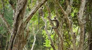 Gray Langur Monkeys Royalty Free Stock Photography