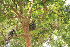 Gray Langur monkeys in a tree royalty free stock images