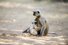 Gray langur mother and baby Royalty Free Stock Photo