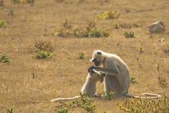 Gray Langur Mother Preening Baby royalty-vrije stock foto's