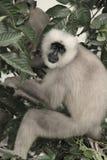 Gray Langur ou singe de visage noir Photographie stock libre de droits