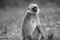 Gray Langur på den Bandipur nationalparken arkivfoto