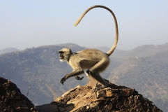 Gray langur playing at Taragarh fort, Bundi, India Stock Photos