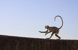Gray langur playing at Taragarh fort, Bundi, India Royalty Free Stock Photography