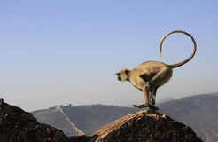 Gray langur playing at Taragarh fort, Bundi, India Stock Images