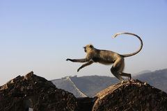 Gray langur playing at Taragarh fort, Bundi, India Stock Image