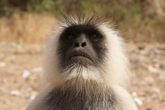 Gray langur Stock Images