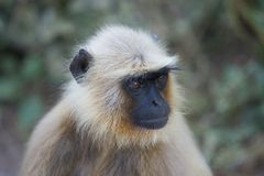 Gray Langur in Ranthambhore N.P. - India Royalty Free Stock Photography