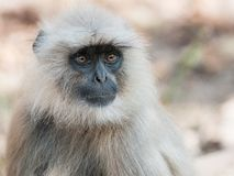 Gray Langur in Ranthambore National Park, India. Portrait of a Gray Langur in Ranthambore National Park in Rajasthan, India stock photography