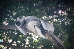 Gray langur resting. Gray langur sleeing at Bandhavgarh National Park, Madhya Pradesh, India Stock Image