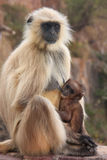 Gray langur (Semnopithecus dussumieri) with a baby sitting at Ra Stock Images
