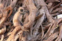 Gray langur (Semnopithecus dussumieri) sitting in a big tree, Ra Royalty Free Stock Images