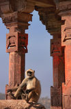 Gray langur (Semnopithecus dussumieri) sitting at Ranthambore Fo Royalty Free Stock Image