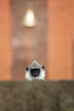 Gray langur, Semnopithecus entellus, head protruding above the stone wall. Staring directly at camera against temple from red bricks and golden bell. Nice stock images