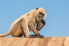 Gray Langur or the Semnopithecus entellus. Gray langurs or Hanuman langurs, the most widespread langurs of the Indian Subcontinent, are a group of Old World Stock Photography