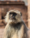 Gray Langur or the Semnopithecus entellus. Gray langurs or Hanuman langurs, the most widespread langurs of the Indian Subcontinent, are a group of Old World Stock Image