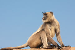 Gray Langur or the Semnopithecus entellus. Gray langurs or Hanuman langurs, the most widespread langurs of the Indian Subcontinent, are a group of Old World Royalty Free Stock Photography