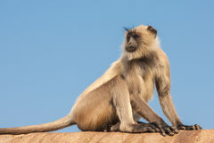 Gray Langur or the Semnopithecus entellus. Gray langurs or Hanuman langurs, the most widespread langurs of the Indian Subcontinent, are a group of Old World Stock Photos